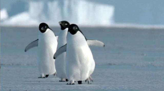 Thumnail of BBC iPlayer 'Penguins'